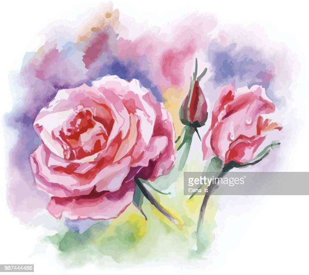 two flowers roses on a white background. watercolor - rose colored stock illustrations