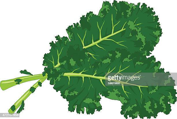 two large kale leaves on a white background - kale stock illustrations