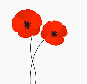 Two red poppies flowers growing isolated on white background.