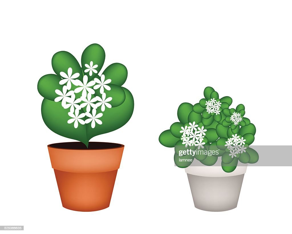 Two White Jasmine Flowers In Flower Pot Vector Art Getty Images