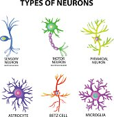 Types of neurons. Structure sensory, motor neuron, astrocyte, pyromidal, Betz cell, microglia. Set. Infographics. Vector illustration on isolated background