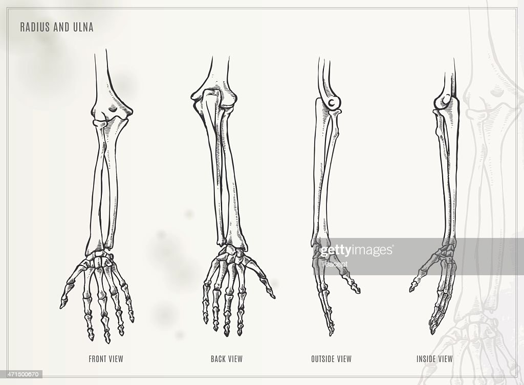Ulna and Radius. Medical illustration