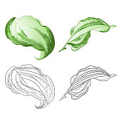 Variegated hosta Magic Fire, foliage plant perennial  bold leaves irregular cream  with green edged set first on a white background  vintage vector illustration editable