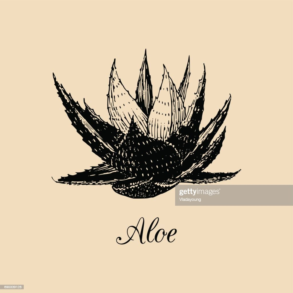 Vector aloe illustration. Hand drawn agave sketch. Officinalis plant background. Botanical,medicinal,cosmetic herb card.