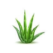 Vector aloe vera realistic plant skincare cosmetic