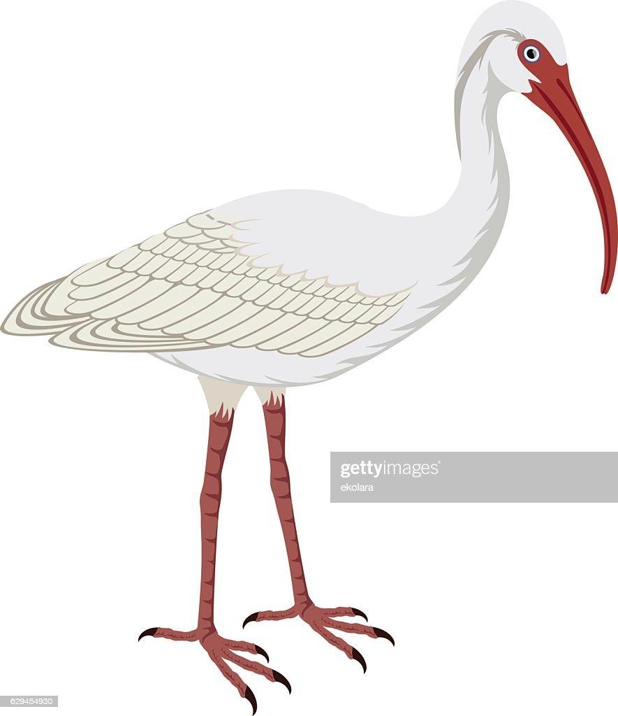 vector American White Ibis (Eudocimus albus)
