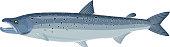 vector Atlantic salmon (Salmo salar)