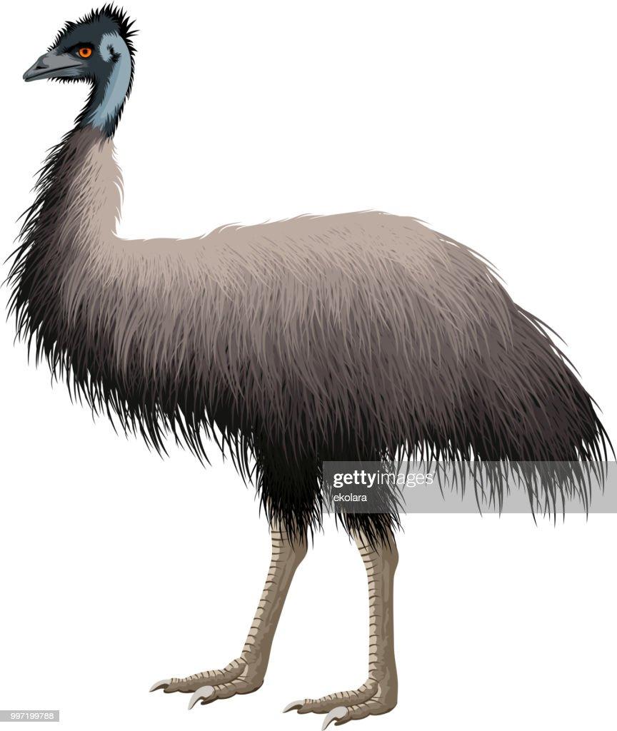 vector Australian ostrich Emu
