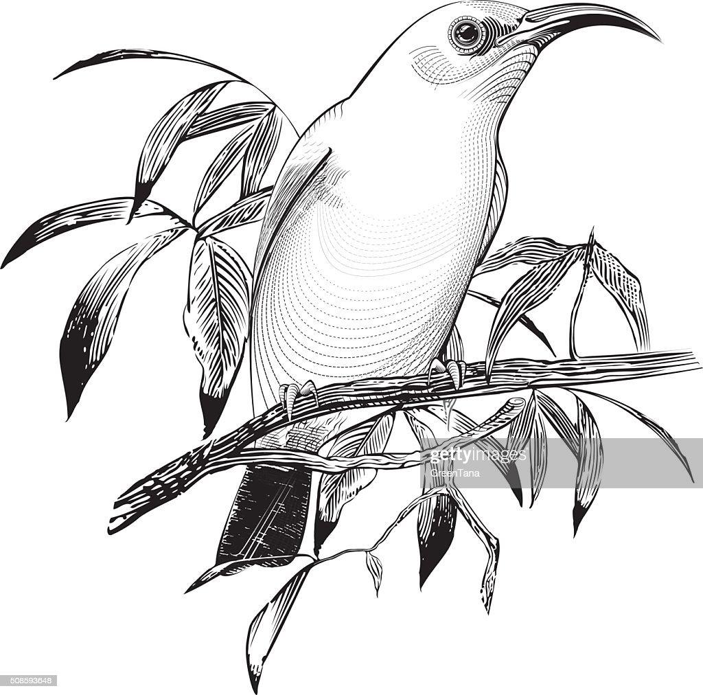 Vektor-bird : Vektorgrafik