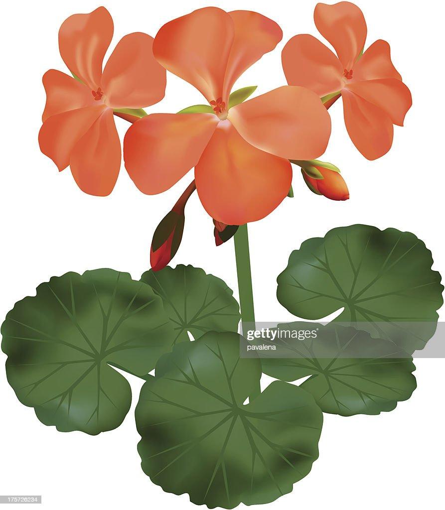 vector - blooming geranium