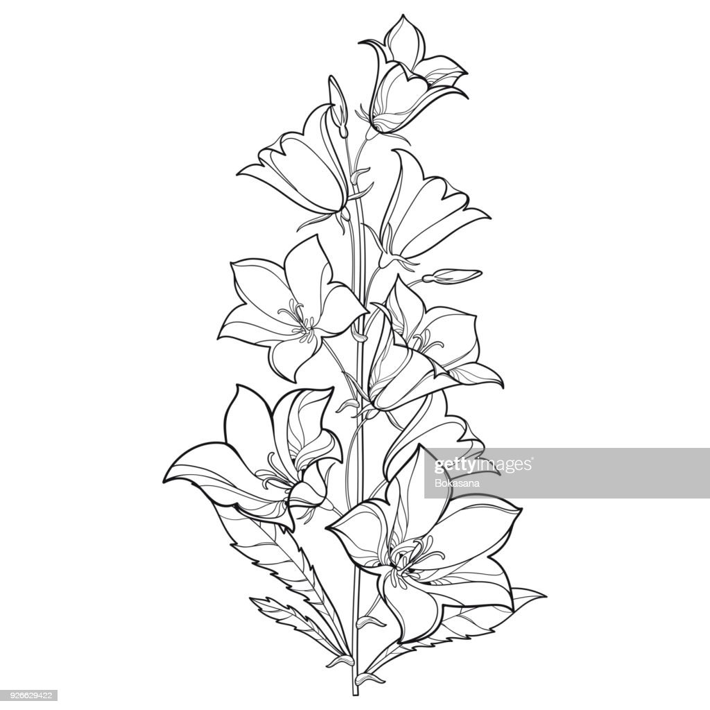 Vector bouquet with outline Campanula or Bellflower or Bluebell flower, leaf and bud in black isolated on white background.