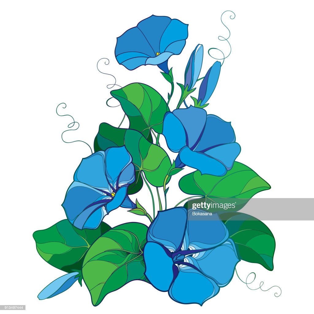 Vector bouquet with outline Ipomoea or Morning glory flower bell in pastel blue, green leaf and bud isolated on white background.