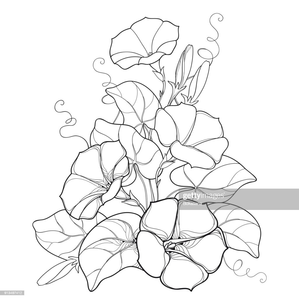 Vector bouquet with outline Ipomoea or Morning glory flower bell, leaf and bud in black isolated on white background.
