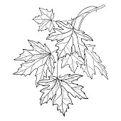 Vector branch with outline Acer or Maple ornate leaves in black isolated on white background.