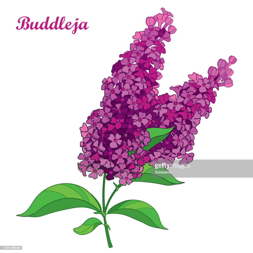 Vector branch with outline pink Buddleja or butterfly bush flower bunch and ornate leaf isolated on white background.