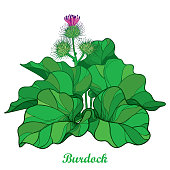 Vector bush of outline Burdock or Arctium lappa, leaf and bur or seed in green isolated on white background.