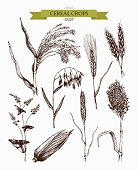 Vector collection of hand drawn cereal crops sketches.