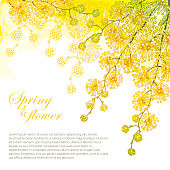 Vector corner bouquet with ornate outline Mimosa or Acacia dealbata or silver wattle flower on the pastel yellow background.