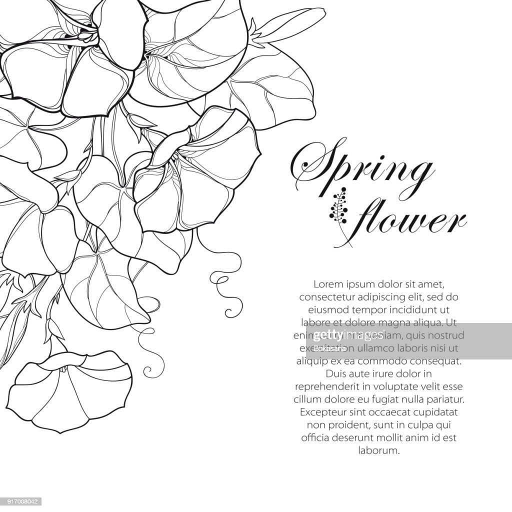 Vector corner bouquet with outline Ipomoea or Morning glory flower, leaf and bud in black isolated on white background.