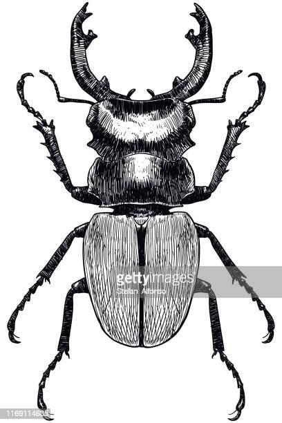 illustrazioni stock, clip art, cartoni animati e icone di tendenza di disegno vettoriale di uno scarafaggio su sfondo bianco - coleottero