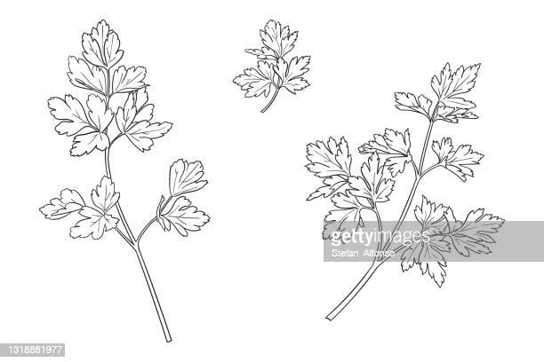 vector drawing of a parsley - parsley stock illustrations
