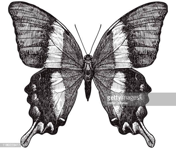 vector drawing of butterfly - butterfly insect stock illustrations
