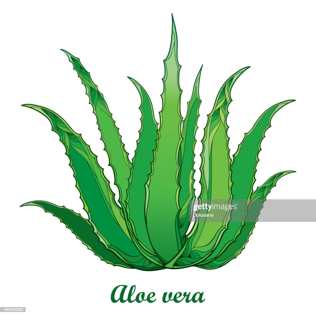 Vector drawing of outline Aloe vera or true Aloe plant with fleshy green leaf isolated on white background.