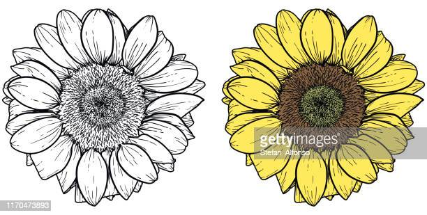 136 Sunflower Outline High Res Illustrations Getty Images Check out our sunflower outline selection for the very best in unique or custom, handmade pieces from our shops. 136 sunflower outline high res illustrations getty images