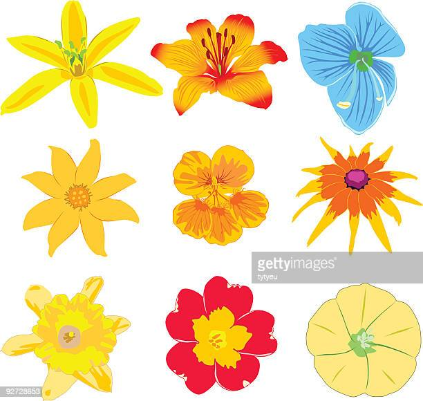 vector flowers - ranunculus stock illustrations, clip art, cartoons, & icons