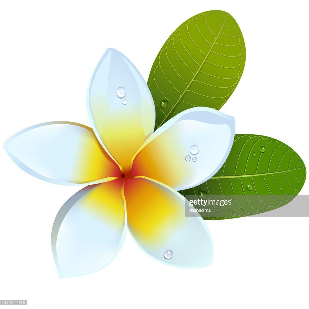 Vector Frangipani Flower