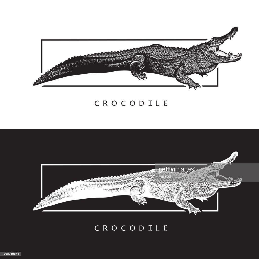 Vector graphic image of American alligator.