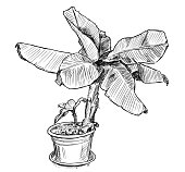 Vector Hand Drawing of Banana Tree in Large Pot