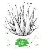 Vector hand drawn botanical Aloe Vera. Engraved illustration