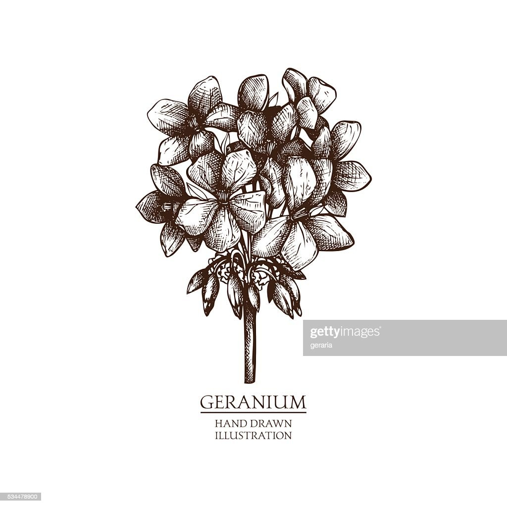 Vector hand drawn illustration of Geranium.