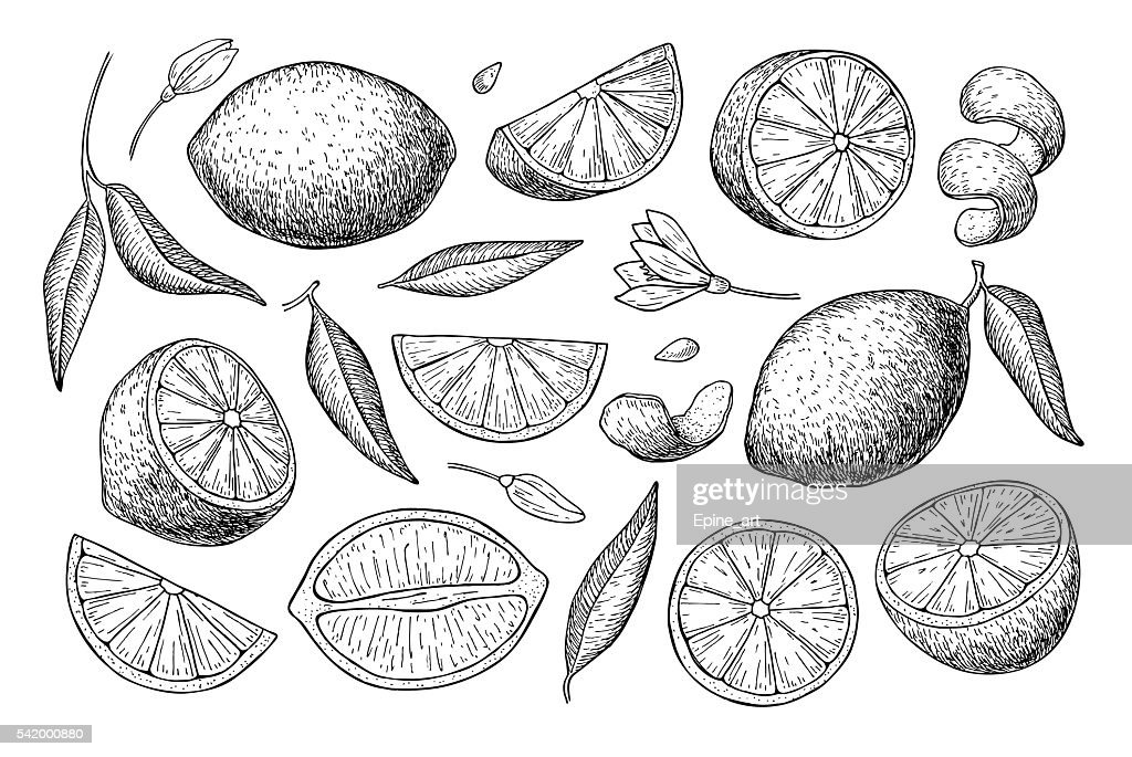 Vector hand drawn lime or lemon set.