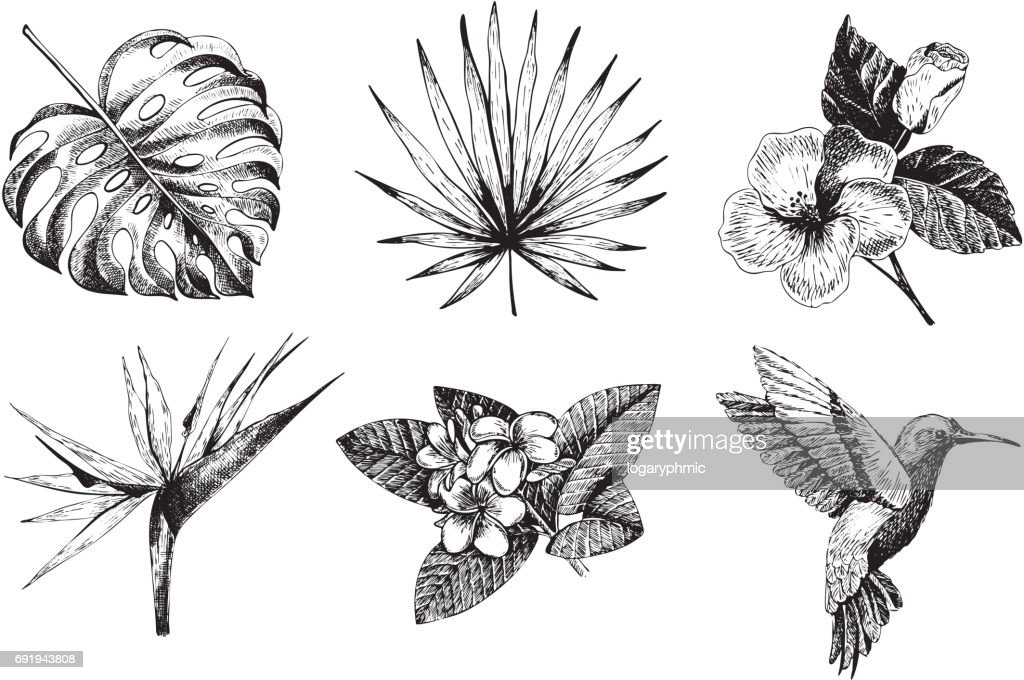 Vector hand drawn tropical plant icons. Exotic engraved leaves and flowers. Monstera, livistona palm leaves, bird of paradise, plumeria, hibiscus, hummingbird.