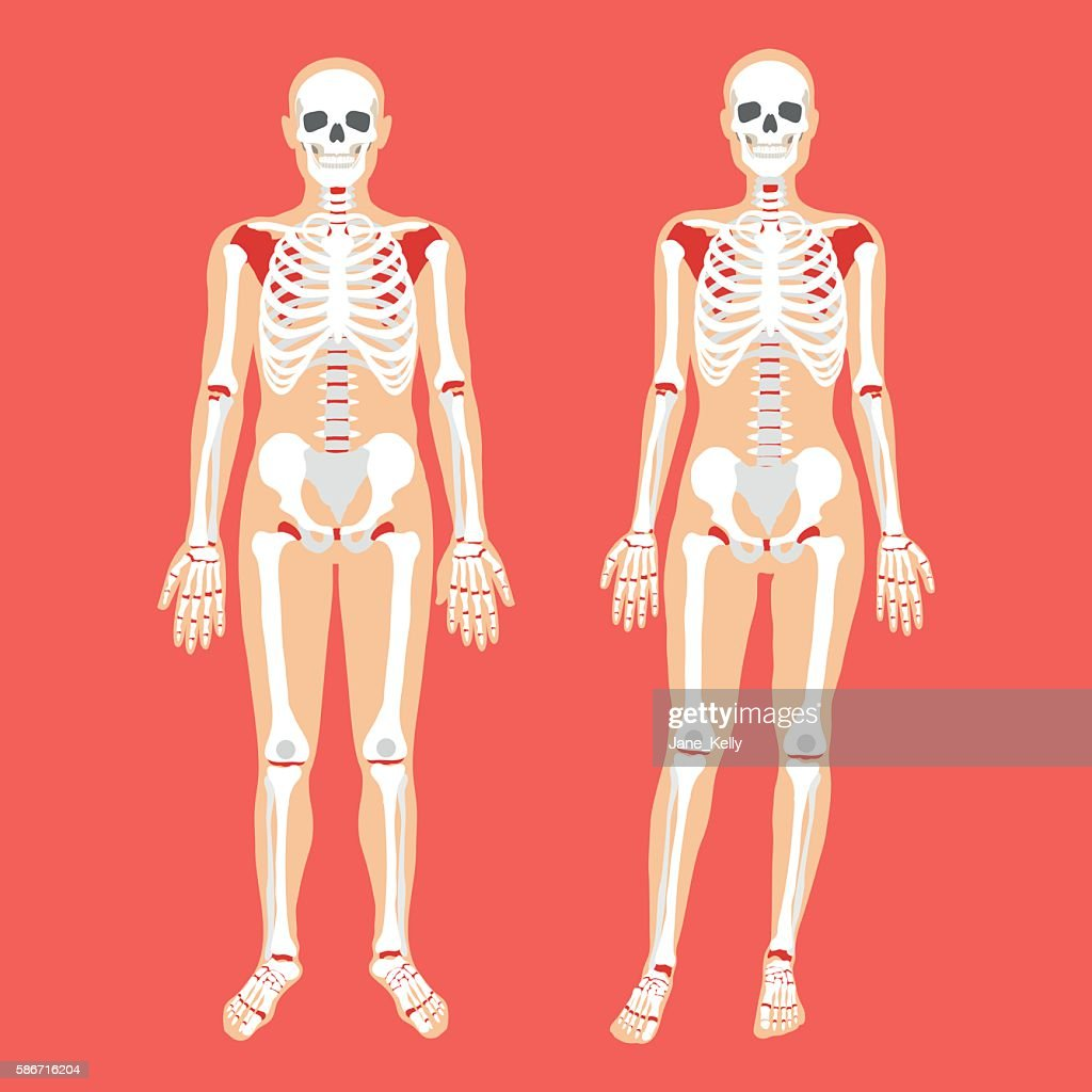 Vector human anatomy, skeletal system. Female and male bodies, skeletons