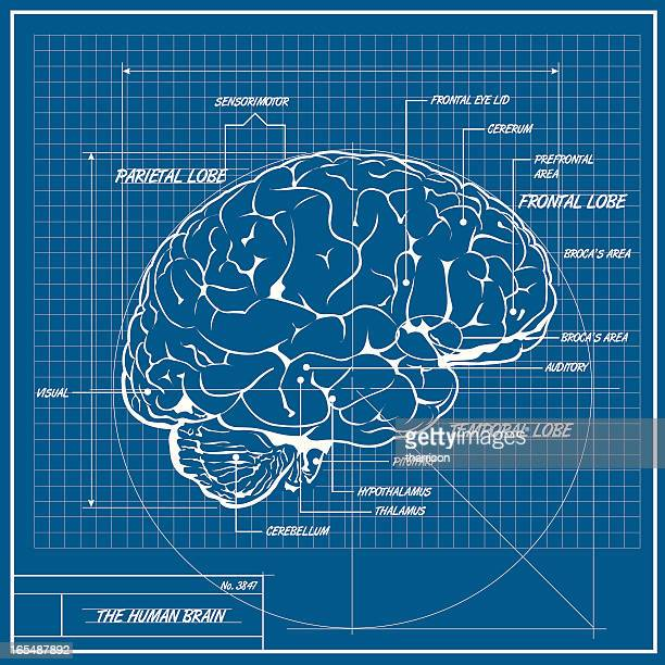 vector human brain blueprint - medical diagram stock illustrations, clip art, cartoons, & icons