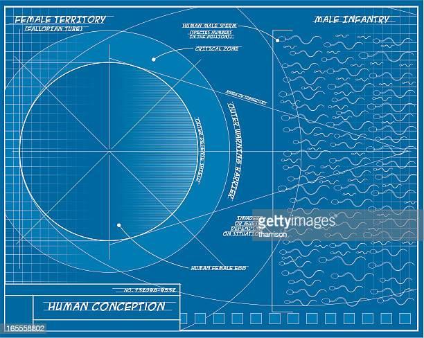 vector human conception blueprint - fallopian tube stock illustrations