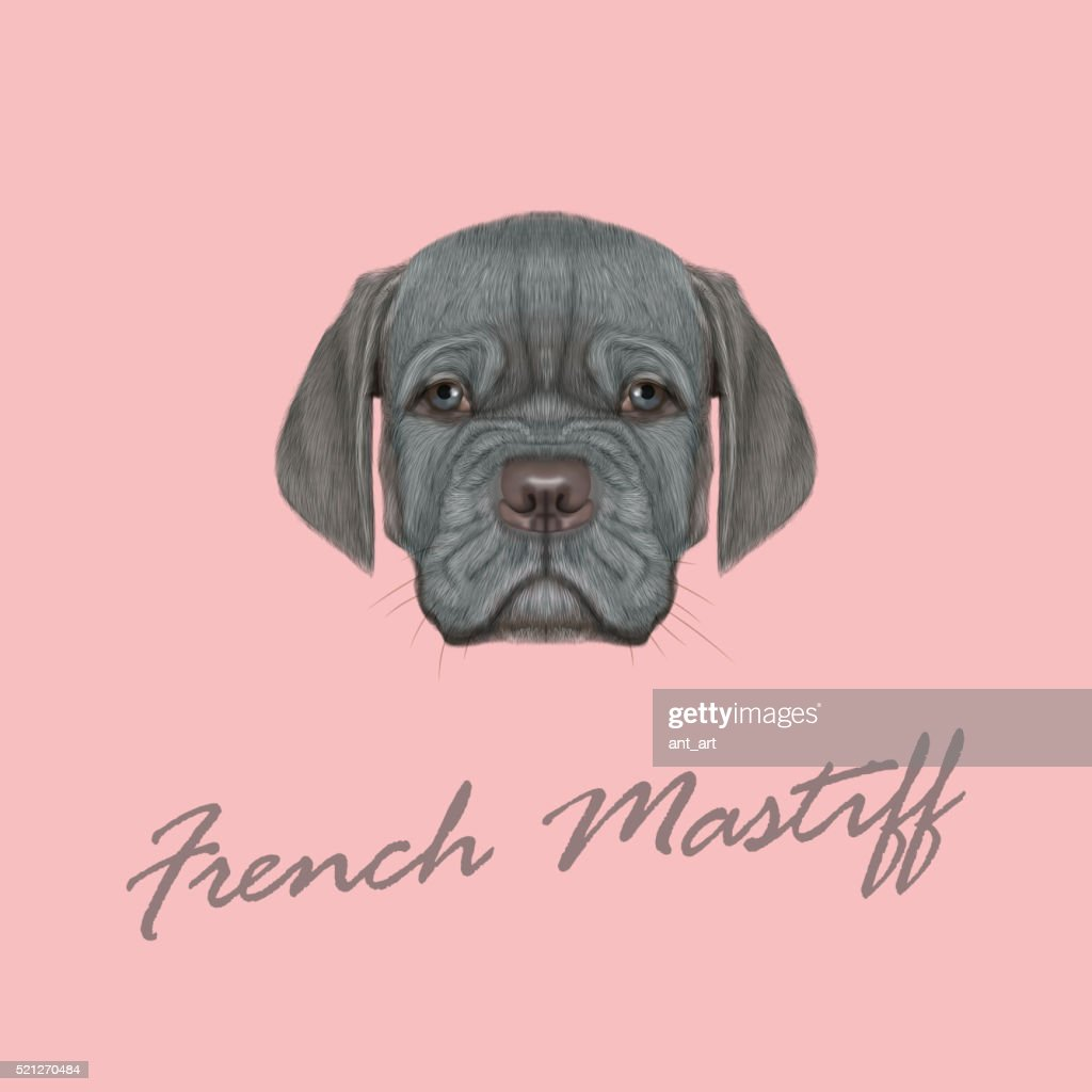 Vector Illustrated Portrait of French Mastiff puppy.
