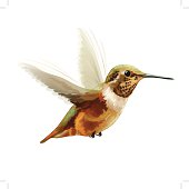 Vector Illustration: Anna's Hummingbird