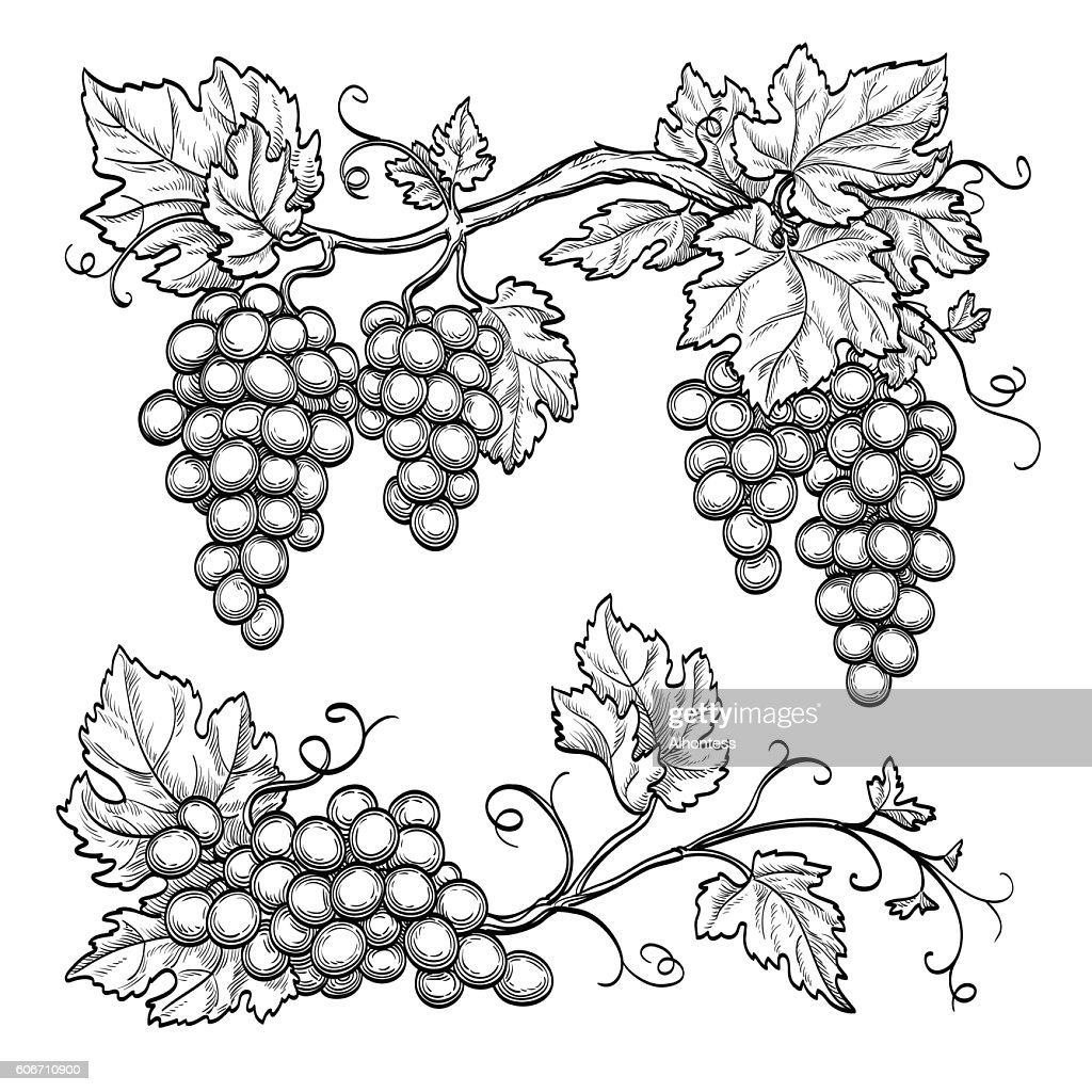 Vector illustration grape branches