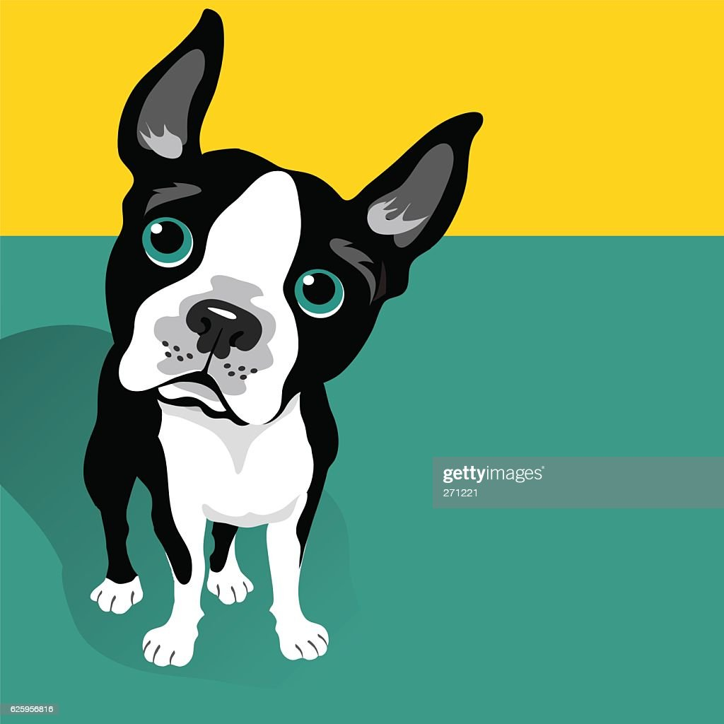 vector illustration of a cute Boston Terrier Dog