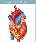 vector Illustration of  a  Human Hearth Anatomy