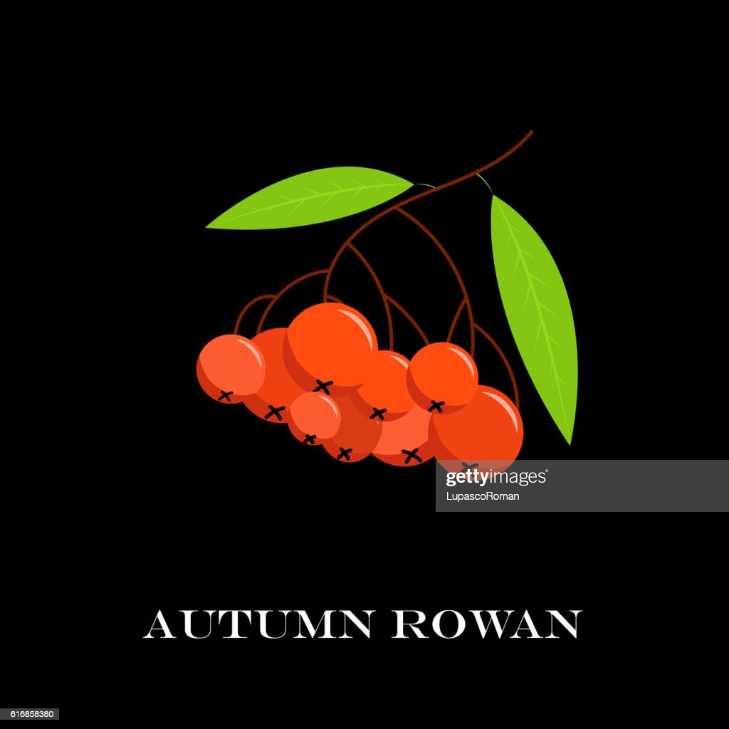 Vector illustration of branch with outline Rowan or -berry. : Vector Art