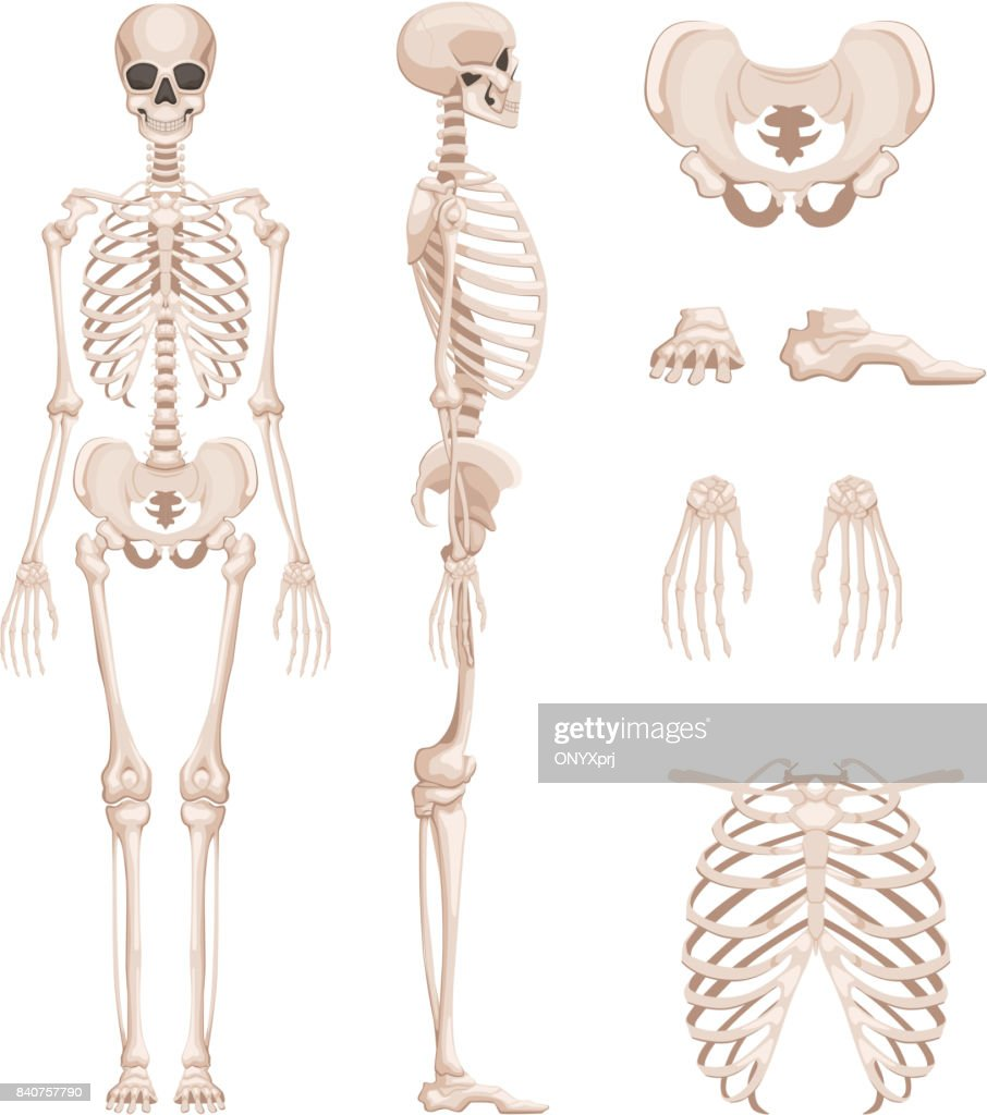 Vector Illustration Of Human Skeleton In Different Sides Bones Of