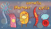 Vector illustration of human somatic cells