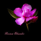 vector illustration of isolated nerium oleander pink flower