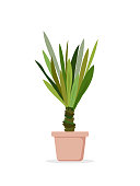Vector illustration of palm tree in the pot. Palm house window plant Yucca elephantipes in flat cartoon style.