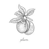 Vector illustration of plum fruit.